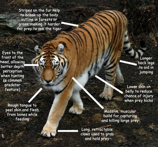 Behavioral Adaptations of a Tiger Behavioral Adaptations Are The